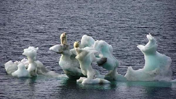 Osos polares ante el deshielo