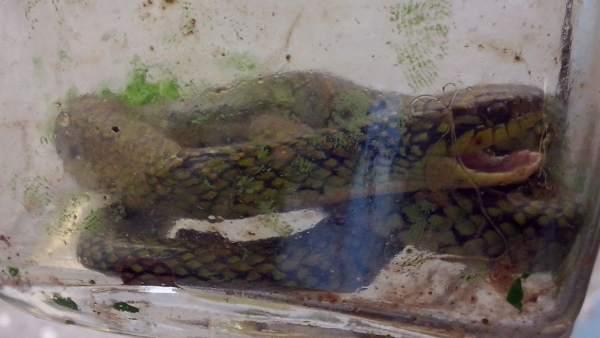 Cría de serpiente venenosa