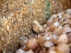 Maltrato a pollitos en incubadoras espa�olas