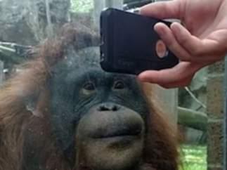 Un orangután ve un vídeo de orangutanes.