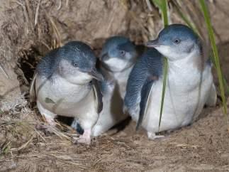 Pingüinos azules
