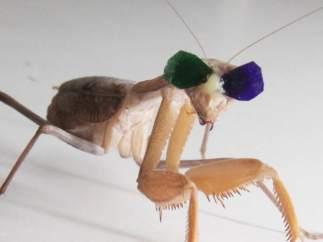 Mantis con gafas 3D