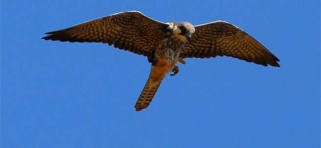 Un halcón en una imagen de archivo