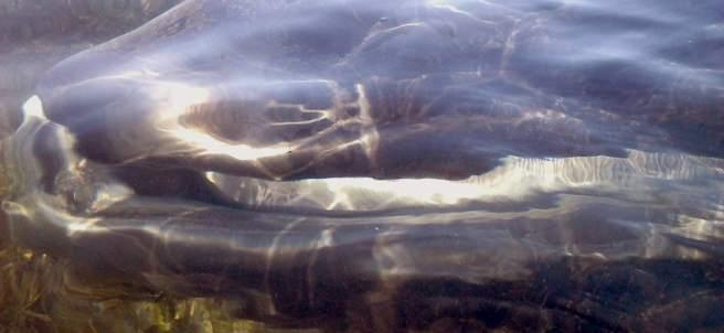 El cadáver de la ballena encontrada en el Delta del Ebro