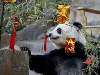 Un panda celebra el Año Nuevo chino