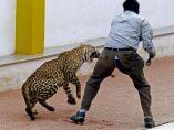 Leopardo irrumpe en una escuela