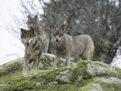 WWF inicia una recogida de firmas online para poner fin a la persecución del lobo en España