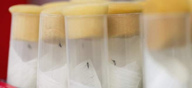 Mosquitos del virus del Zika