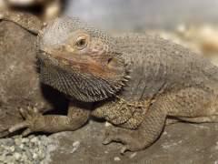 La Guardia Civil incauta varios ejemplares de animales exóticos en una vivienda de O Porriño