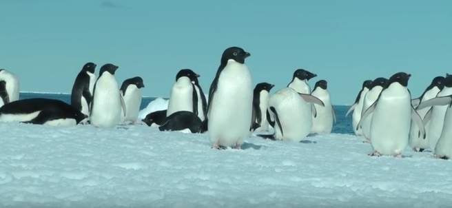 Pingüino adelaida