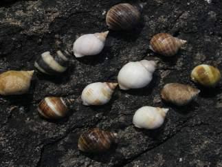 Caracoles marinos