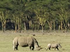Muere Sudán, el último rinoceronte blanco del norte macho del mundo