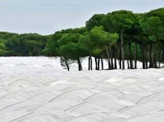Las fresas amargas están secando Doñana