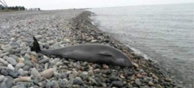 Delfines muertos en la costa georgiana
