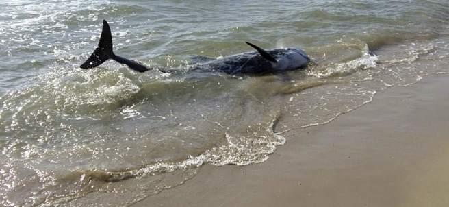 Delfín varado