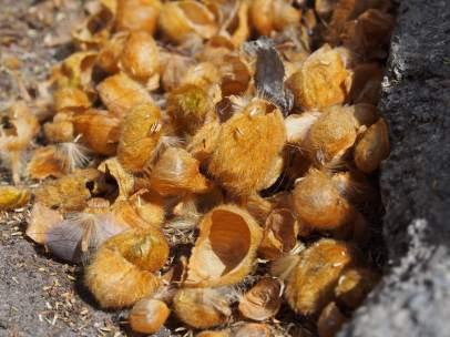 Rastros de polen del plátano de sombra