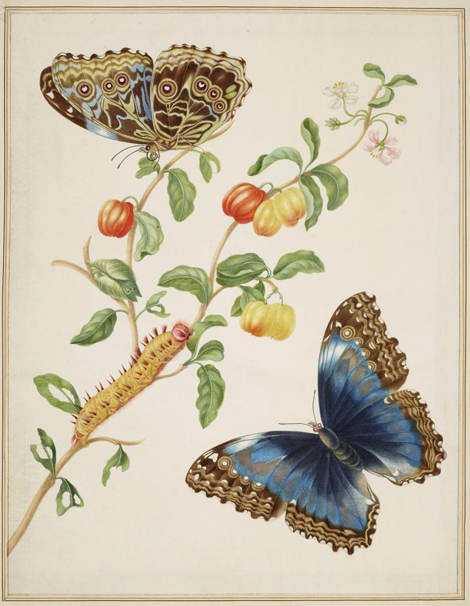 Maria Merian - Branch of West Indian Cherry with Achilles Morpho Butterfly, 1702-03. Una de las acuarelas pintadas en Surinam por Maria Merian a principios del siglo XVIII