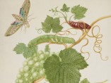 Maria Merian - Grape Vine with Vine Sphinx Moth and Satellite Sphinx Moth, 1702-03