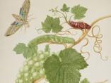 Maria Merian - Grape Vine with Vine Sphinx Moth and Satellite Sphinx Moth, 1702-03