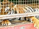 Tigre de circo en una jaula