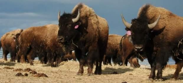 El número de heridos por ataques de bisontes en Yellowstone crece a causa de los 'selfies'