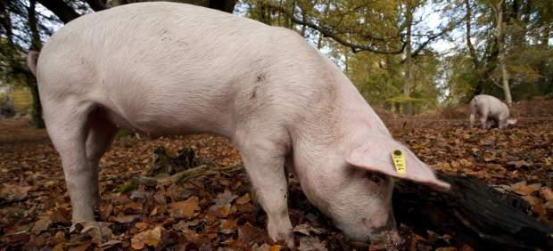 Cinco países prohíben la entrada de productos porcinos de Hungría por peste africana