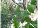 Croton Scarciegii