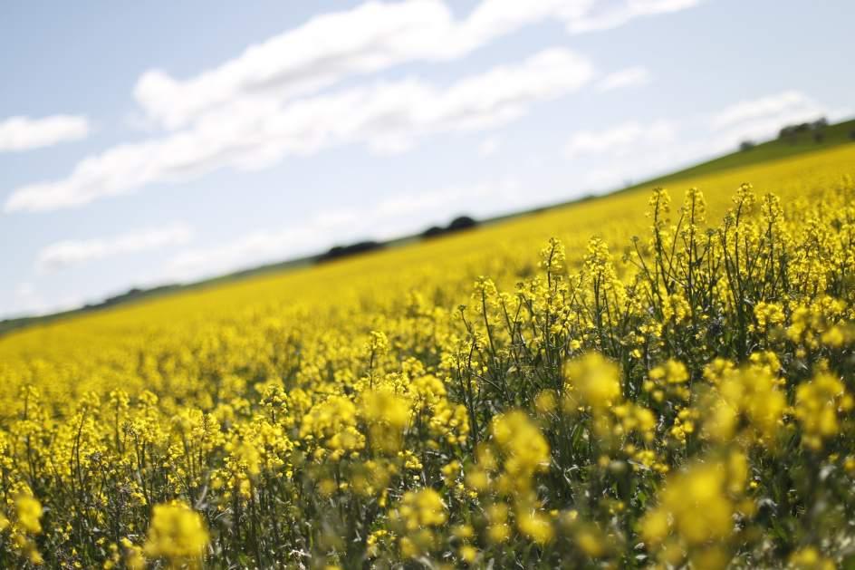 campo de colza con sus coloridas flores amarillas en guadalajara jorge pars