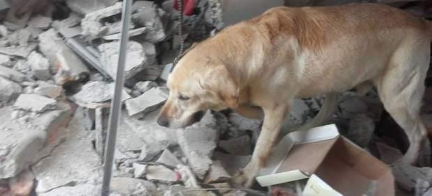 Ecuador llora la muerte de Dayko, un perro que fue un héroe en el rescate tras el terremoto