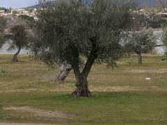 Descifran el genoma completo del olivo, que permitirá mejorar aceitunas y aceite