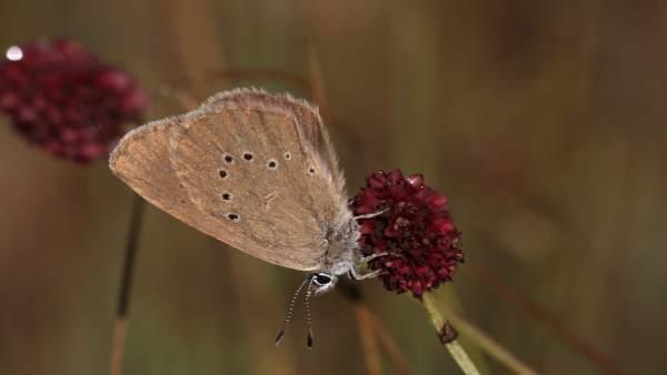 Mariposa  hormiguera oscura