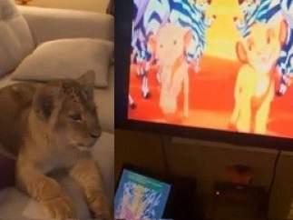 Dos leones viendo 'El Rey León'