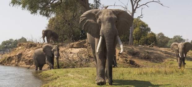 Tanzania ha perdido el 90% de sus elefantes en menos de 40 años y continúa el descenso