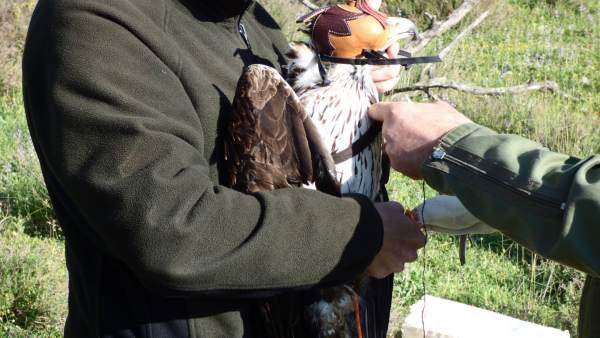 Marcaje del águila perdiguera