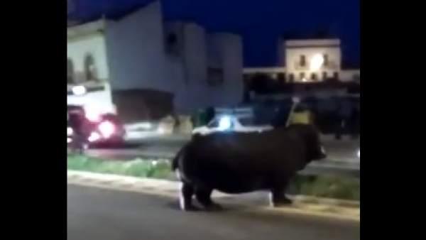 Un hipopótamo 'pasea' por Palos