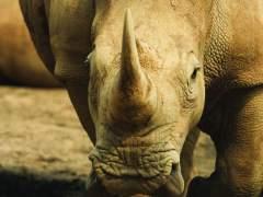 Cuernos de rinoceronte y pieles de tigre arden en Nepal como protesta contra la caza furtiva