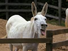 Un burro marroquí condenado por transportar hachís