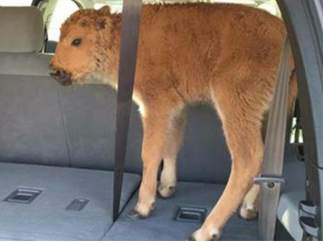 Sacrifican a una cria de bisonte en Yelowstone por culpa de dos turistas