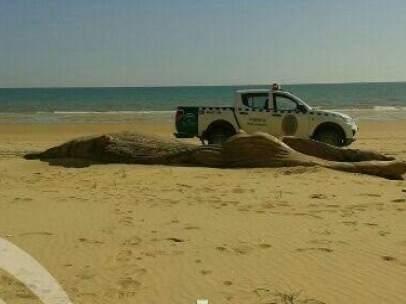 Ballena encontrada muerta en Doñana.