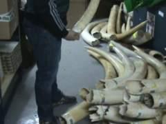 La Guardia Civil se incauta de 74 colmillos de elefante africano