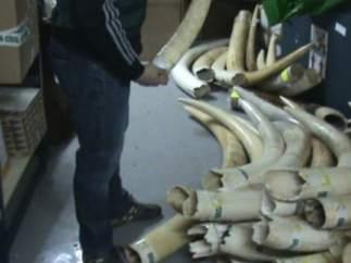 Incautados 74 Colmillos De Elefante Africano