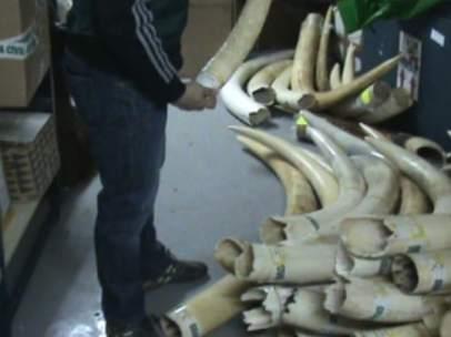 Incautados colmillos De Elefante Africano