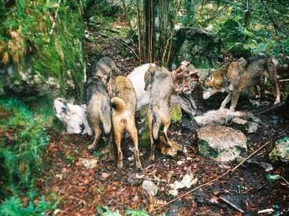 Manada de lobos comiendo carroña
