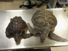 Averiguan la función original del caparazón de las tortugas