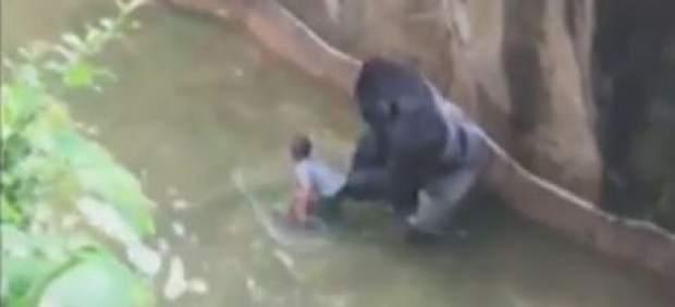 Matan a un gorila en el zoo de Cincinnati para salvar a un niño de cuatro años