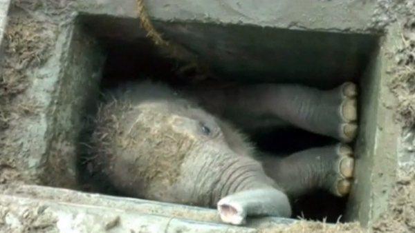 Rescatan a una cría de elefante atrapada en un desagüe