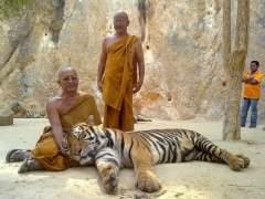 Descubren 40 crías muertas de tigre en un polémico templo de Tailandia