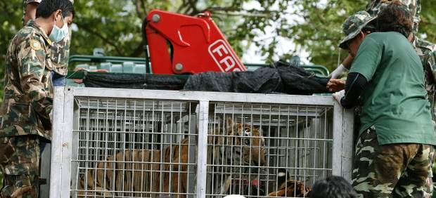 El escándalo por el tráfico de tigres en un templo tailandés sigue agravándose