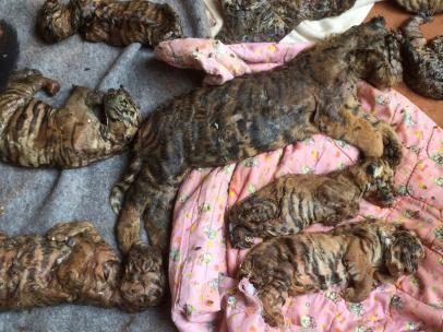 Restos de tigres en el congelador del Templo del Tigre en Tailandia
