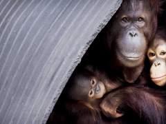 La posible extinción de los primates preocupa a los científicos